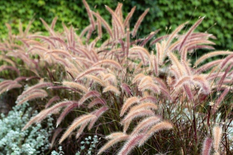 Grama seca para o interior Decoração da casa, estilo seco do moderno da decoração do café da flor da grama secada em casa outono  foto de stock