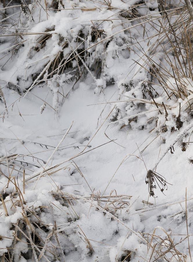 Grama seca sob o esmalte da neve foto de stock