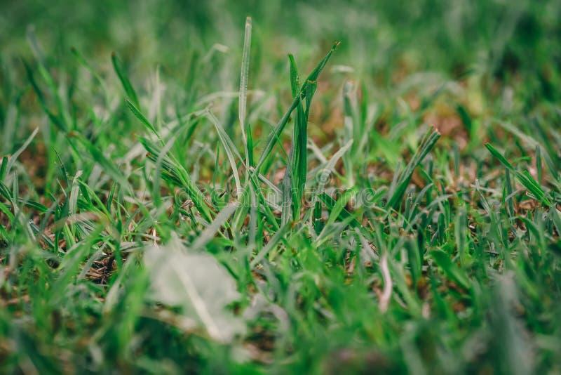 Grama verde áspera por muito tempo com folha foto de stock