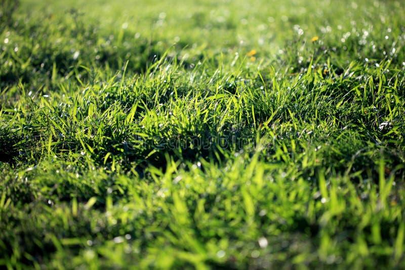 Grama verde-clara fresca com bokeh bonito na manhã ensolarada Adultos novos frescor fotos de stock royalty free