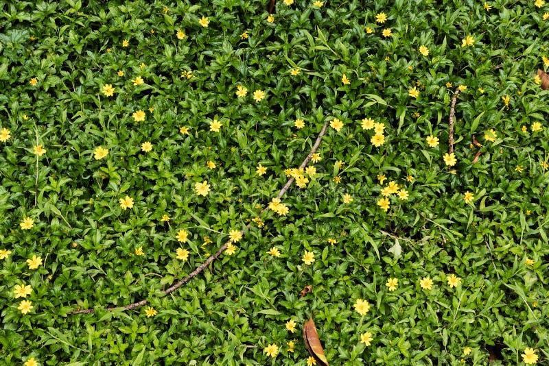 Grama verde com as flores amarelas pequenas na vista de cima de fotografia de stock royalty free
