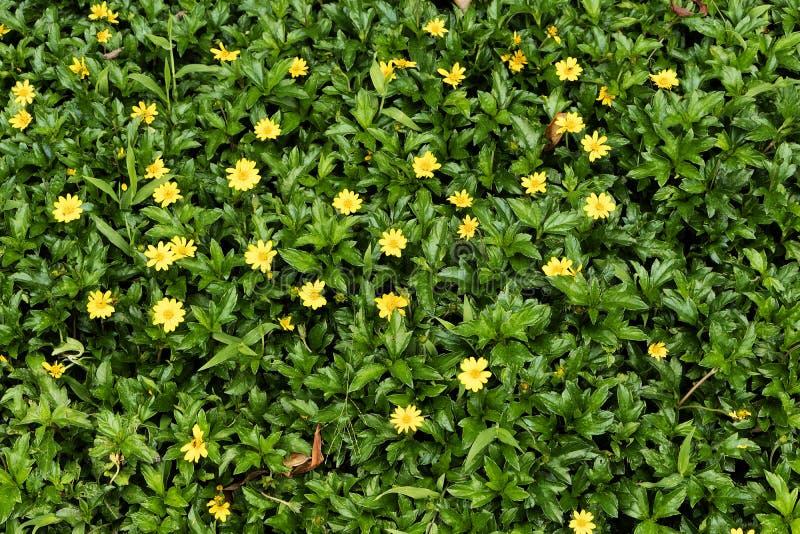 Grama verde com as flores amarelas pequenas na vista de cima de imagens de stock royalty free