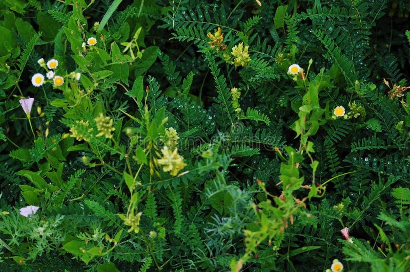 Grama verde com as flores no orvalho ap?s a chuva em um campo fotografia de stock royalty free