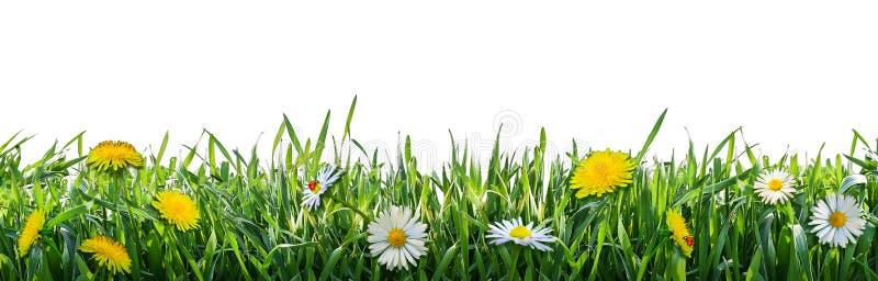 Grama verde com flores da mola Fundo natural imagem de stock royalty free
