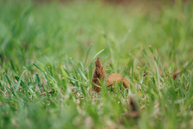 Grama verde com a folha marrom no centro fotografia de stock