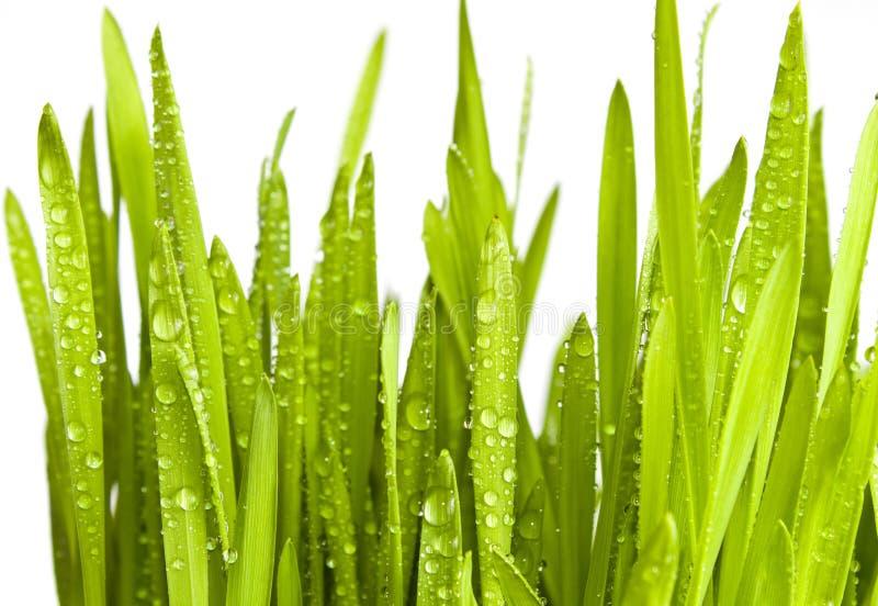 Grama verde com gotas da água fotografia de stock