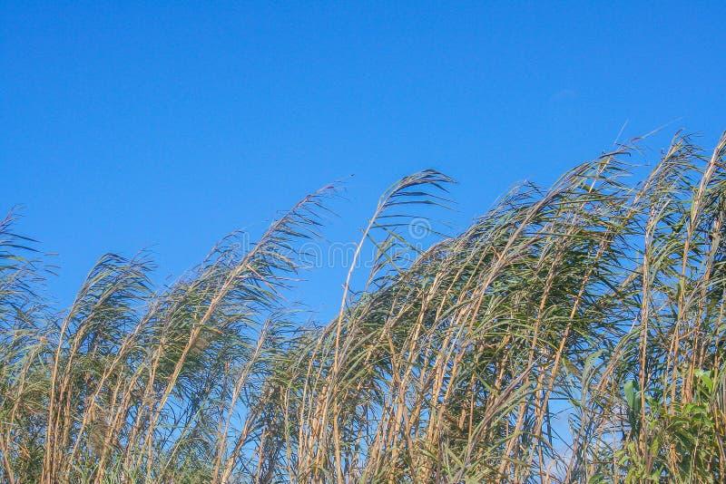 Grama verde com o ventoso no céu azul vívido imagens de stock