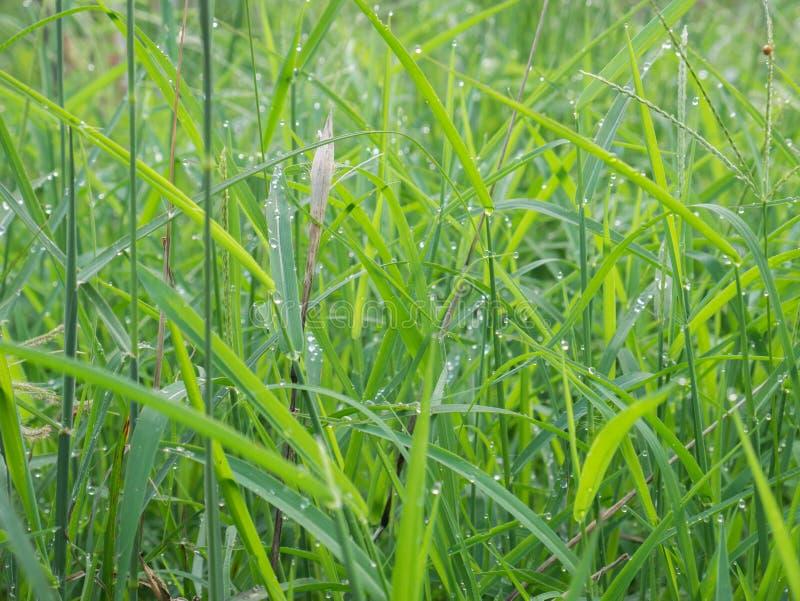 Grama verde com orvalho no dia da manhã para o fundo imagens de stock royalty free
