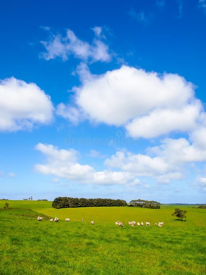 Grama verde com os rebanhos dos carneiros imagens de stock royalty free