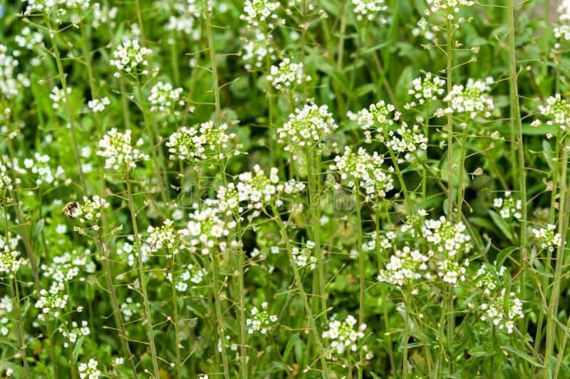 A grama verde da erva daninha da flor branca shepherds a bolsa imagens de stock royalty free