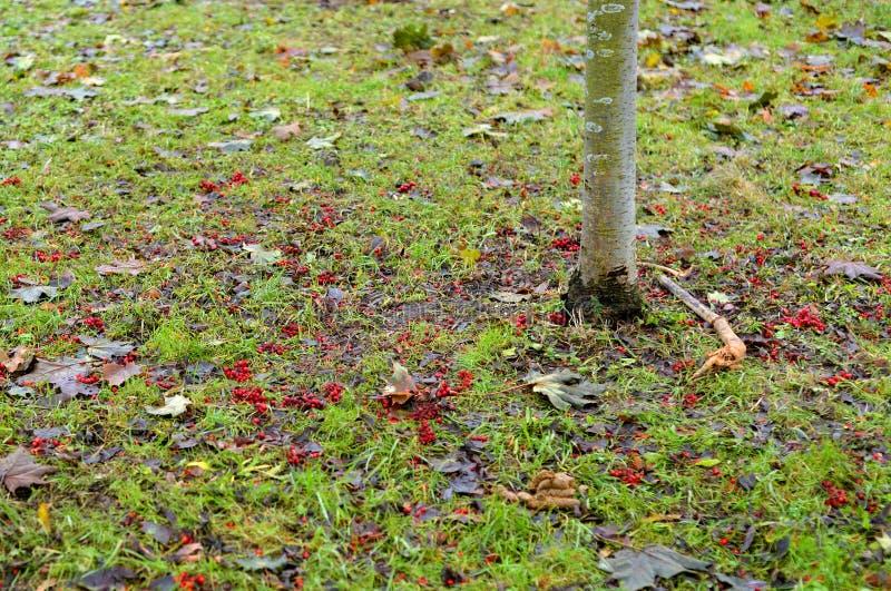 Grama verde e bagas de Rowan caídas imagem de stock