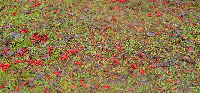 Grama verde e bagas de Rowan caídas foto de stock