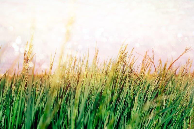 grama verde e bokeh pintado azul do céu e o brilhante fotos de stock royalty free