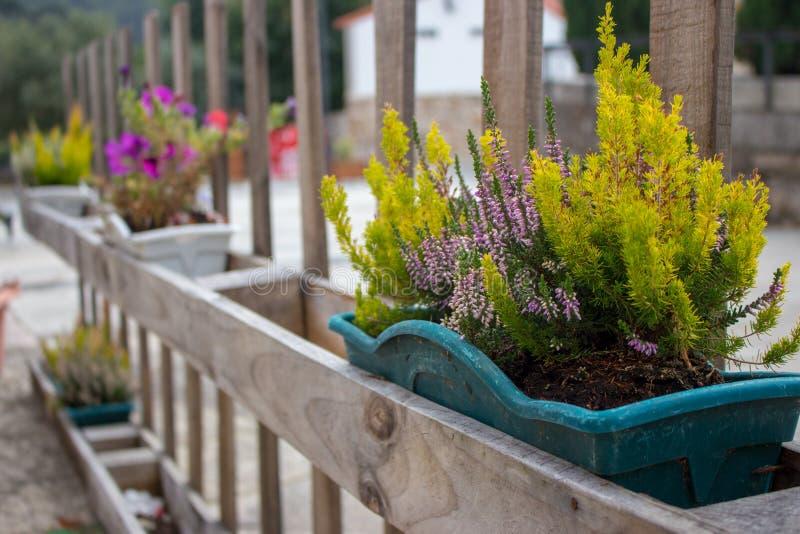 Grama verde e flores de florescência em uns potenciômetros de flor na cerca Recipientes da flor na cerca de madeira na perspectiv imagem de stock royalty free