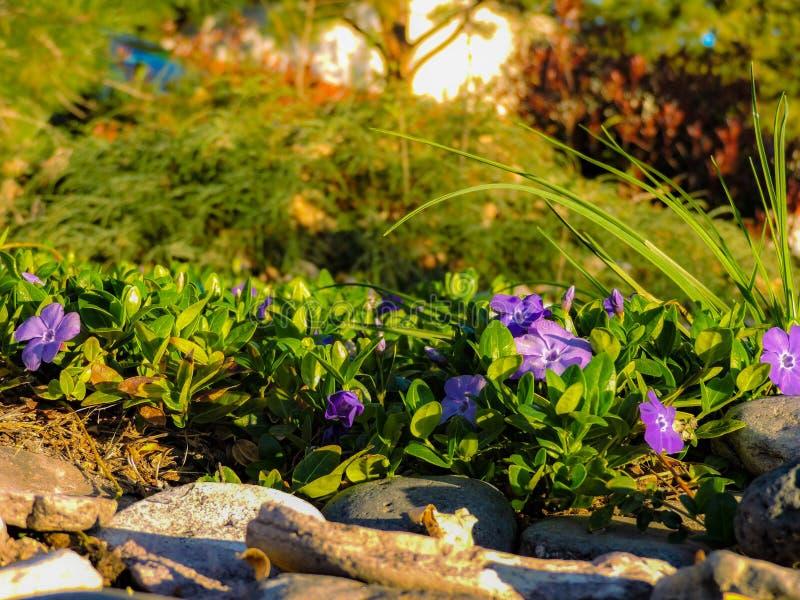 Grama verde e flores roxas foto de stock