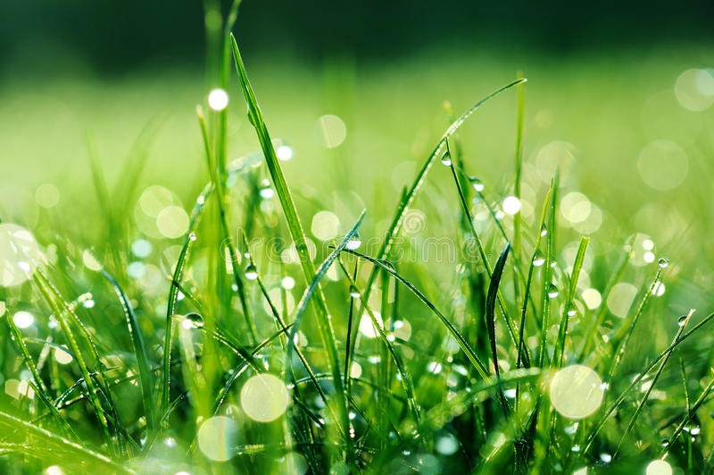 A grama verde fresca com água deixa cair nela imagem de stock royalty free