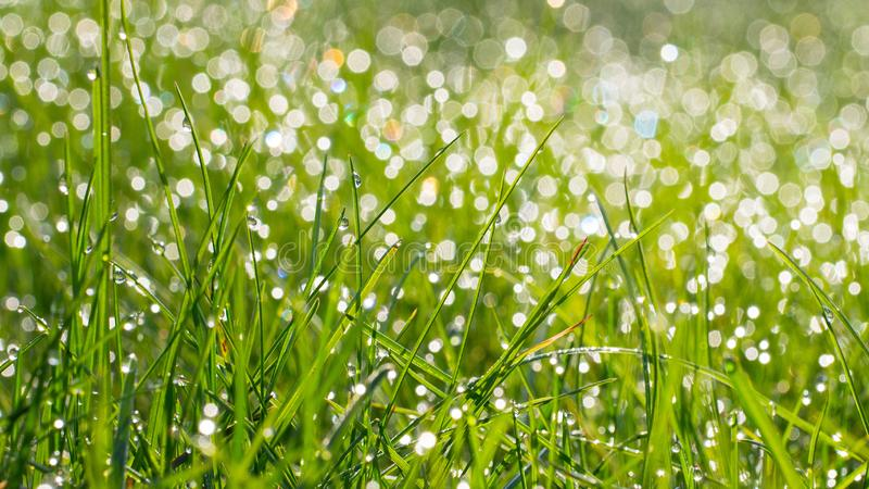 A grama verde fresca com água deixa cair no fundo da luz solar Foco macio Bandeira longa da largura fotos de stock royalty free