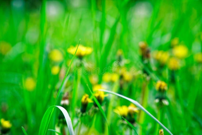 Grama verde fresca com flores do campo, erva do verde da metragem da grama imagens de stock