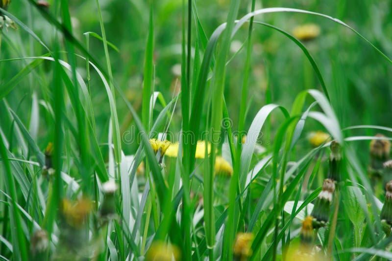 Grama verde fresca com flores do campo, erva do verde da metragem da grama fotografia de stock royalty free