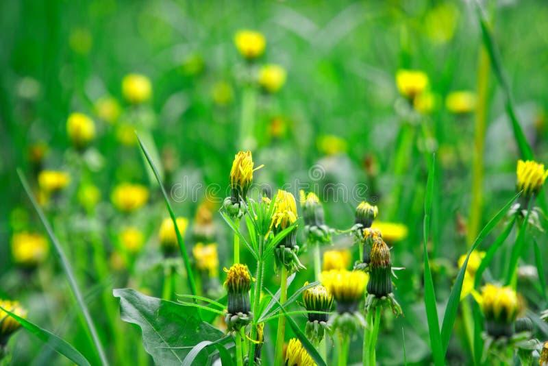 Grama verde fresca com flores do campo, erva do verde da metragem da grama foto de stock