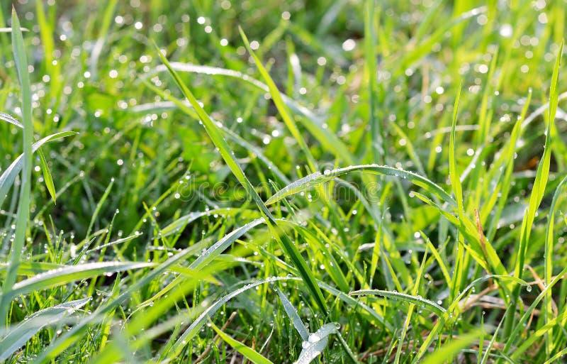 Grama verde fresca com gotas da água foto de stock