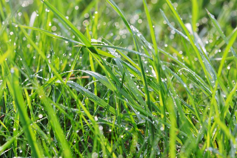 Grama verde fresca com gotas da água fotografia de stock