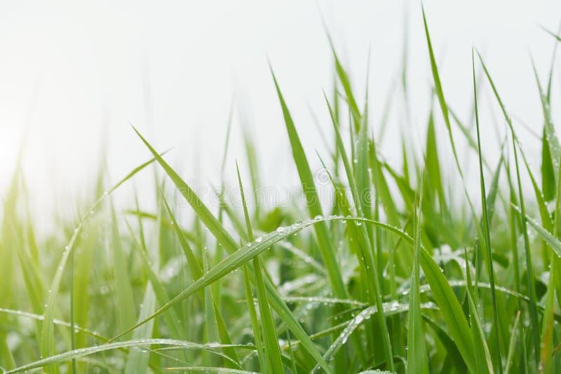 Grama verde fresca com gotas da água na luz solar da manhã foto de stock