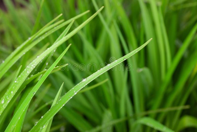 Grama verde fresca com gotas da chuva fotografia de stock