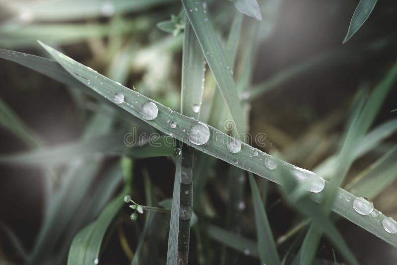 A grama verde fresca com gotas de orvalho fecha-se acima Backgroun da grama verde imagens de stock