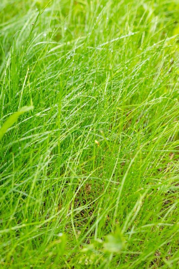Grama verde fresca com orvalho Fundo erval verde natural Esta??o de mola Natureza do ver?o Teste padrão abstrato da água fotografia de stock royalty free