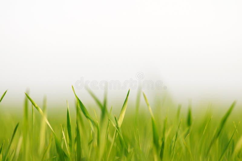 Grama verde fresca como a beira no lado mais baixo do quadro horizontal em um fundo branco vazio sem emenda fotos de stock royalty free