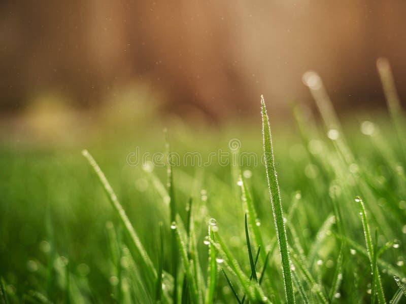 grama verde fresca em um campo com gotas de água e fundo turvo de cor laranja quente imagens de stock