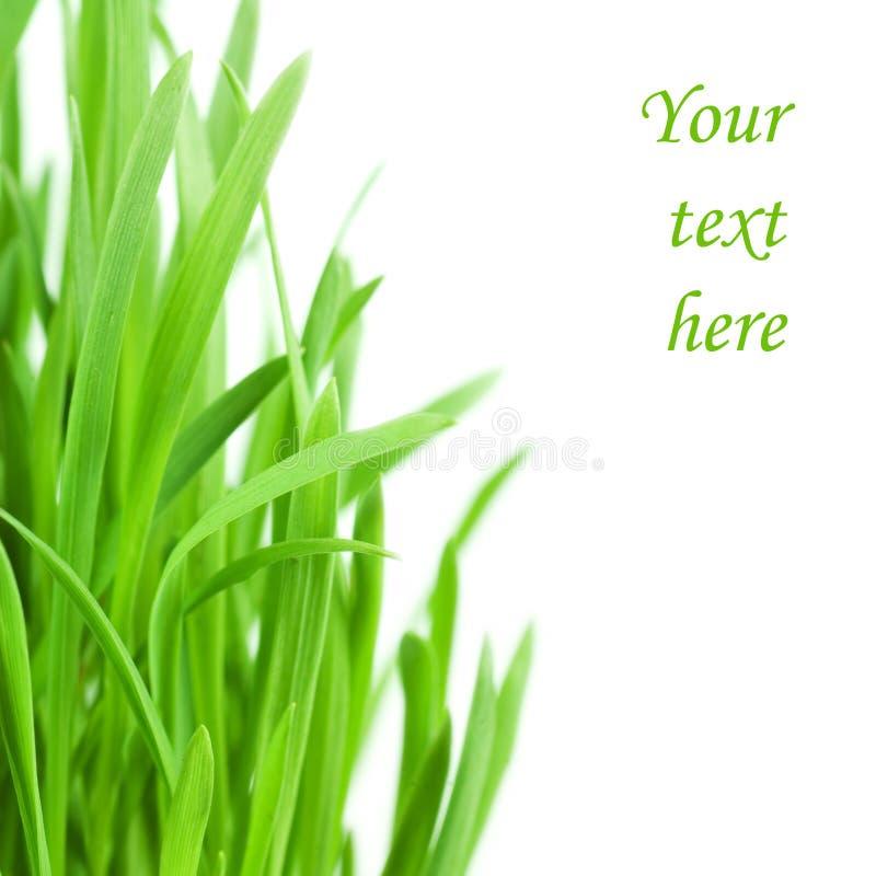 Grama verde fresca isolada no fundo branco fotografia de stock