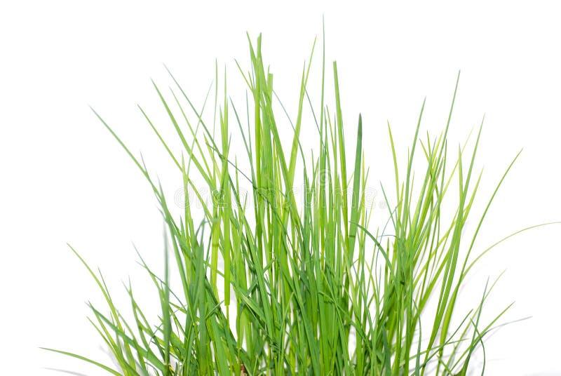 Grama verde fresca no sol imagens de stock