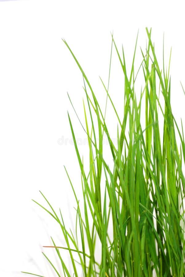 Grama verde fresca no sol imagem de stock