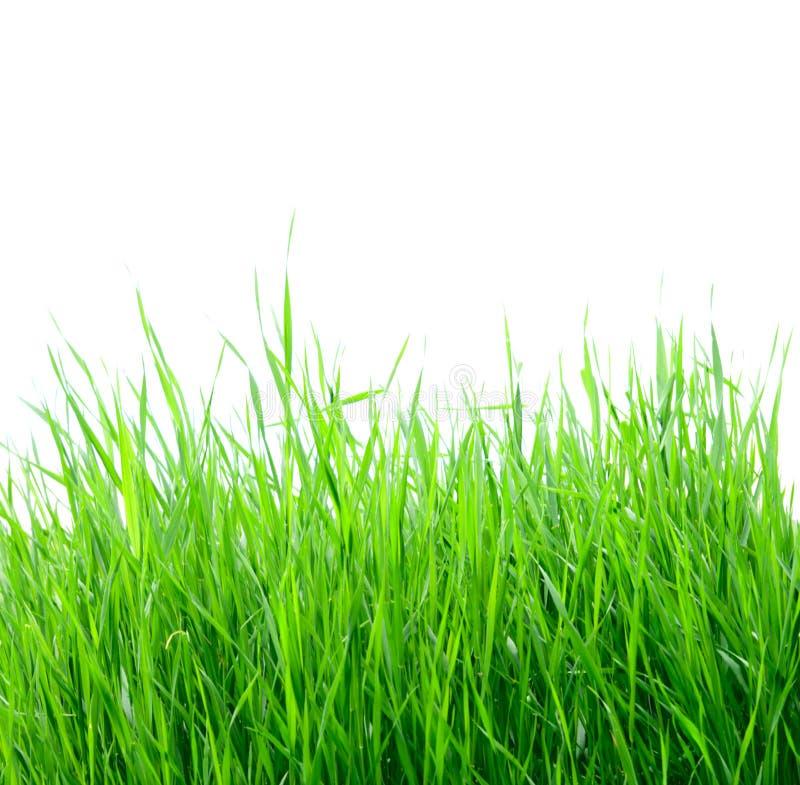 Grama verde isolada no branco imagens de stock