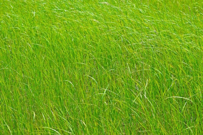 Grama verde luxúria no prado fotografia de stock