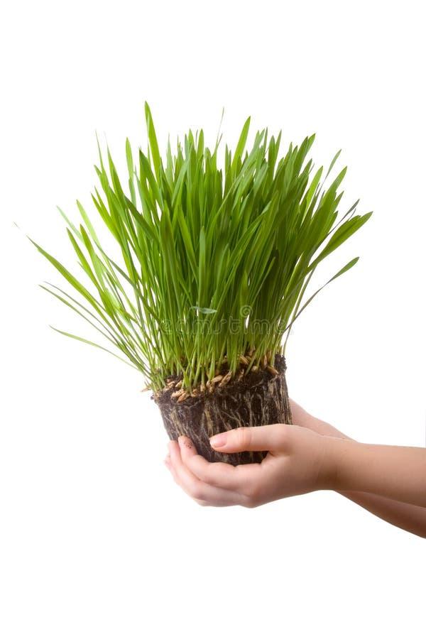 Grama verde nas mãos de umas crianças foto de stock