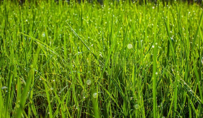 Grama verde no fim do parque acima As gotas de orvalho fecham-se acima na grama verde fresca da mola Dia ensolarado da manhã Fund fotografia de stock