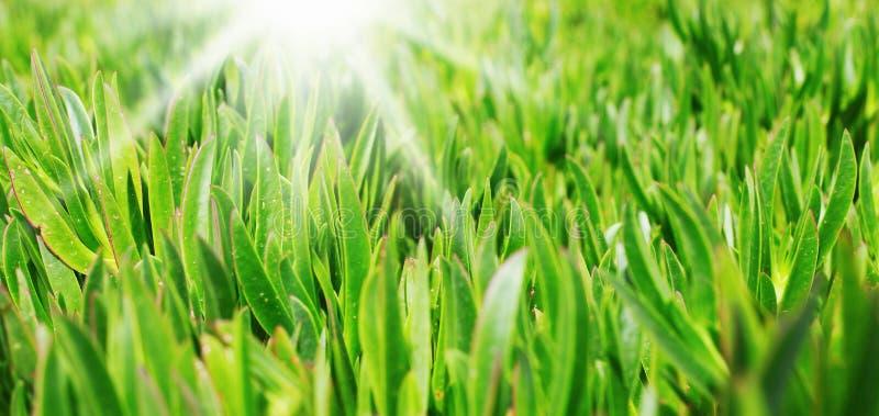 Grama verde no gramado imagens de stock