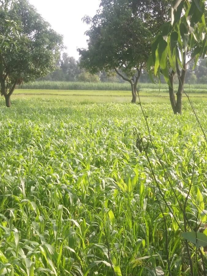 Grama verde no jardim indiano fotografia de stock