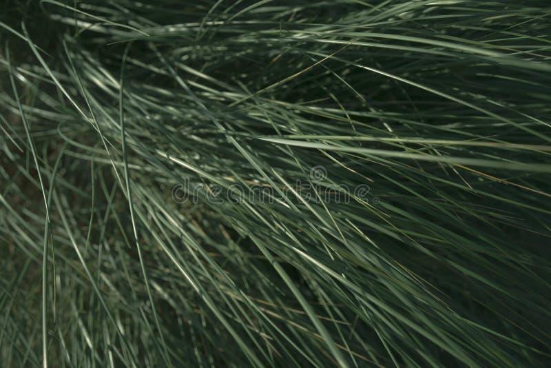 Grama verde no vento nas dunas foto de stock