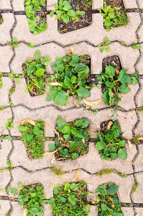 Grama verde nos furos de pavimentar blocos Fundo, teste padrão imagens de stock