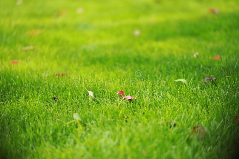 Gramado da grama verde no jardim do parque do inverno da queda do outono da mola do verão na luz do sol do dia ensolarado e no co foto de stock