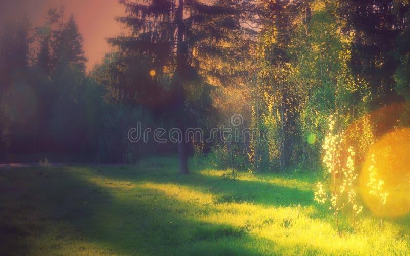 Gramado da paisagem para tomar sol nas sombras da floresta e no bokeh claro dourado do pinho de abeto vermelho foto de stock royalty free