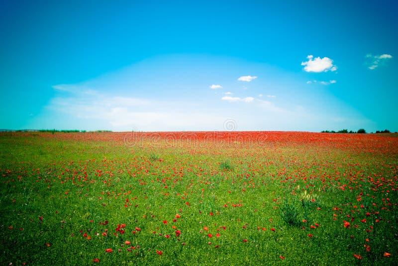 Gramado de papoilas vermelhas contra o céu azul imagens de stock royalty free