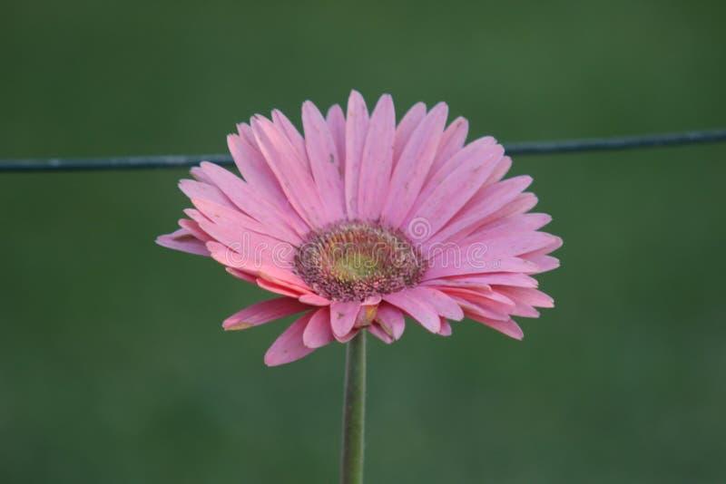 Gramado do verde do rosa da flor do Gerbera imagens de stock royalty free