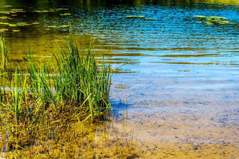 Gramas em Taylor Lake no Columbia Britânica, Canadá imagem de stock