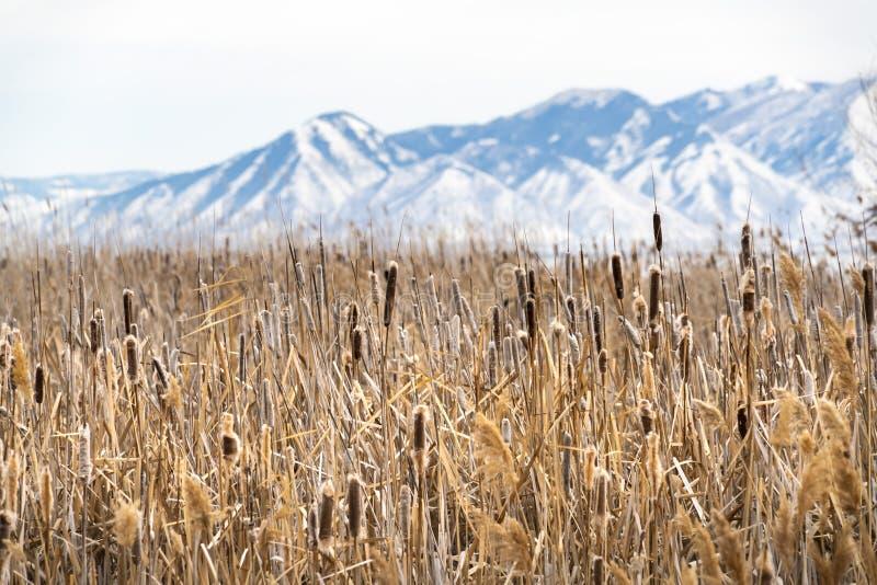 Gramas marrons altas em um terreno vasto visto em um dia de inverno ensolarado fotos de stock royalty free