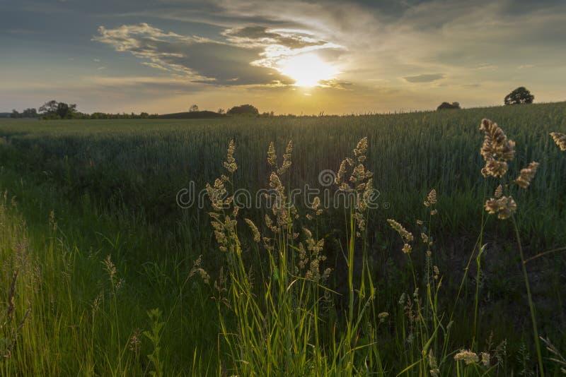 Gramas selvagens plúmeos de florescência no por do sol imagens de stock